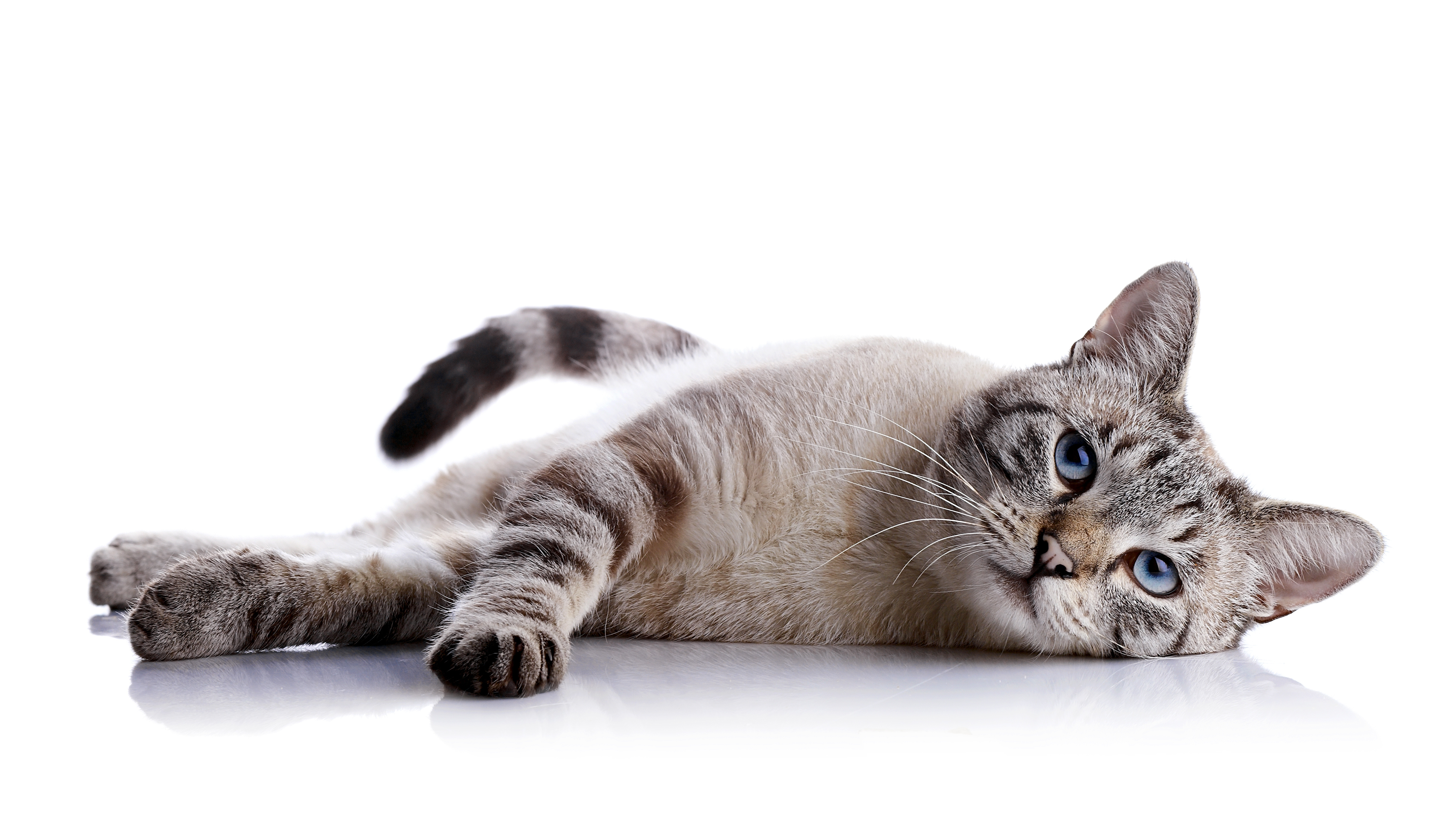 The striped blue-eyed cat lies on a white background.