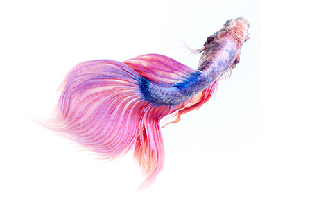 Siamese betta fish tail movement abstract background