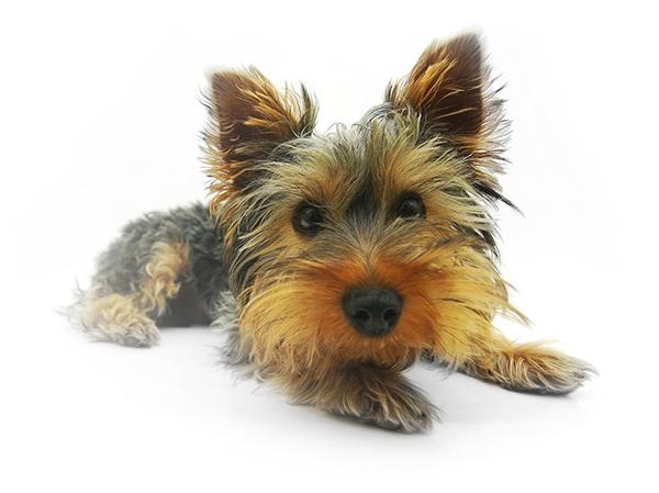 yorkshire-terrier-790361_1920